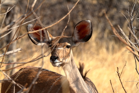 Big kudu in the savannah