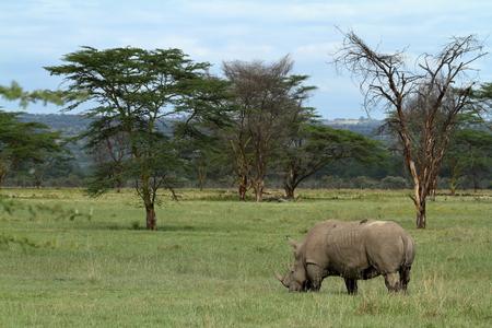 Rhinos at Lake Nakuru National Park in Kenya