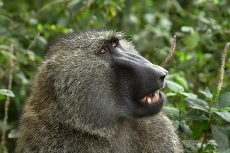 Baboon at Lake Nakuru National Park in Kenya