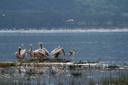 Pelicans on Lake Nakuru in Kenya
