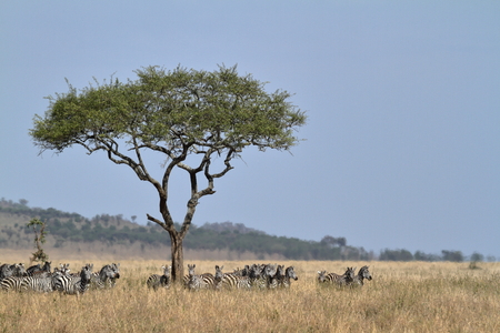 Zebras in the Serengeti Savannah Stock Photo