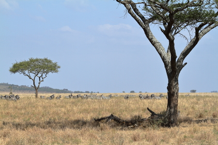 Lions in the Serengeti Savannah