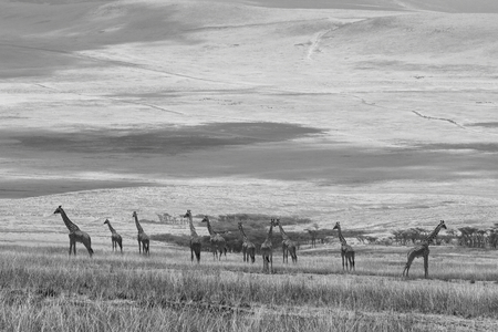 Giraffes in the Serengeti in Tanzania