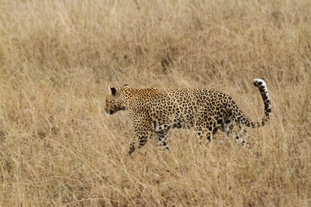 Leopards at the Savannah in the Serengeti Stock Photo