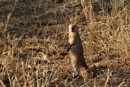 Banded Mongooses in the Serengeti Stok Fotoğraf