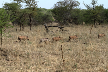 Warthogs in the Serengeti Savannah