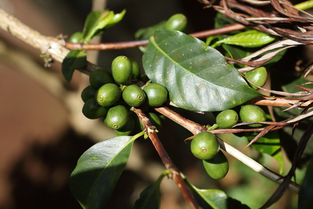 Coffee cherries on the coffee bush