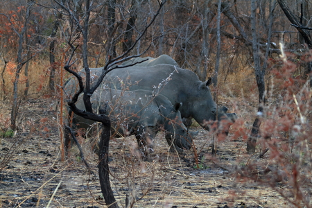 Rhinos in the savannah of Zimbabwe Reklamní fotografie