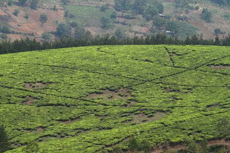 Tea plants and tea plantations in Tanzania