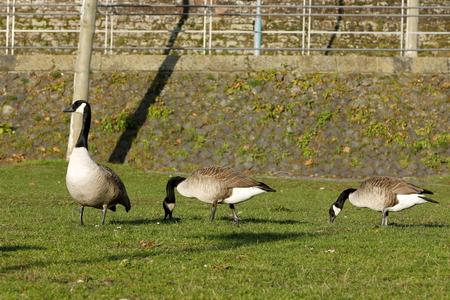 Canada geese on a meadow in Frankfurt