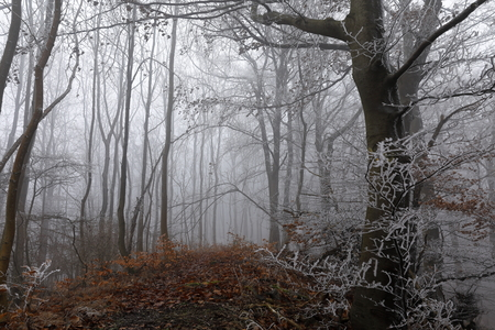 Fog and frost in the winter forest
