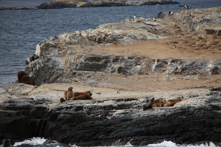 South American Sea Lion of Tierra del Fuego 版權商用圖片