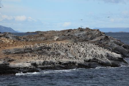 Cormorant colonies at Tierra del Fuego Argentina
