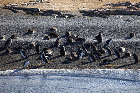 Magellanic penguins on Tierra del Fuego in the Beagle Channel Stock Photo