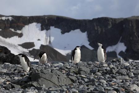 Wildlife at Penguins of Antarctica Фото со стока