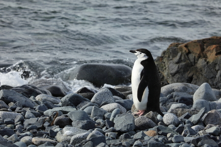 Wildlife at Penguins of Antarctica Stock Photo
