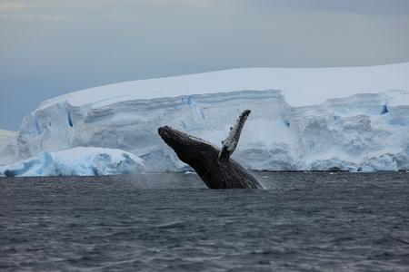 Observation des baleines à bosse en Antarctique