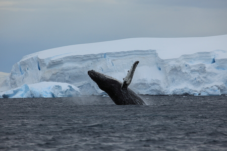 Whale Watching Humpback Whales at Antarctica