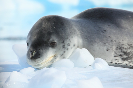 A Leopard Seal and Wildlife of Antarctica