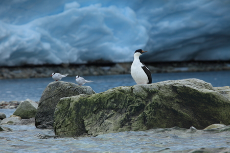 Cormorant colonies at Antarctica