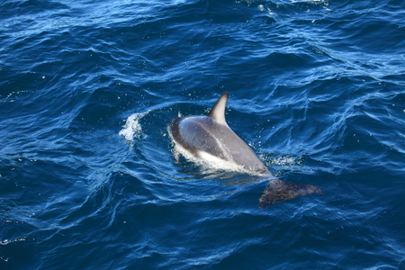 Dolphins of Puerto Madryn in Argentina