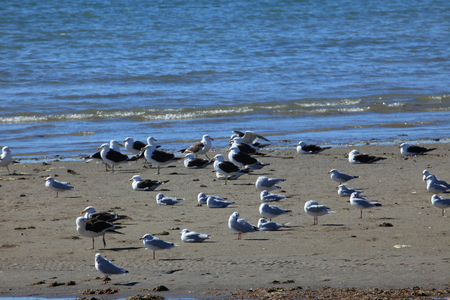 Seagulls of Puerto Madryn in Argentina Banque d'images