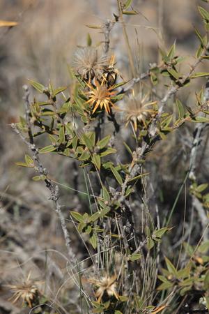 Dried flower on the Valdez peninsula Banco de Imagens