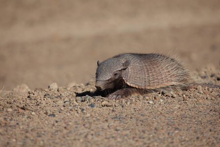 Armadillo on the Peninsula Valdes 스톡 콘텐츠