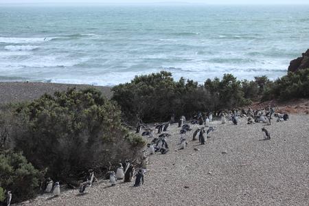 The Magellan penguins of Punta Tombo in Argentina