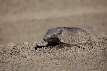 Armadillo on the Peninsula Valdes 免版税图像