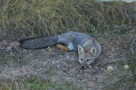 Argentine Fox on the peninsula Valdes Imagens