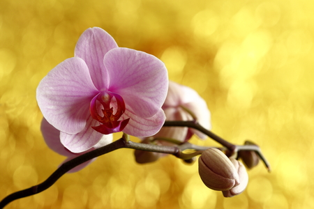 A pink Flowering Orchid