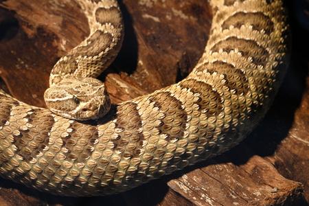 a dangerous poisonous rattlesnake