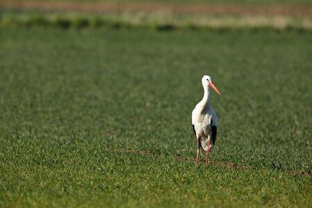 White stork on the nest