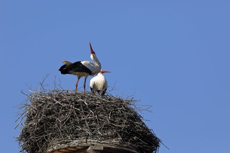 White stork on the nest Banque d'images - 131298452