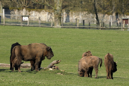 The European bison on a meadow