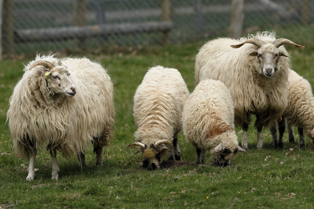 Cabras y ovejas Foto de archivo