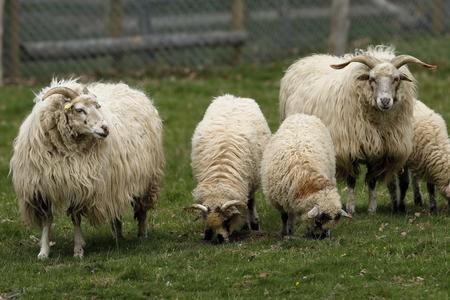 Capre e pecore Archivio Fotografico