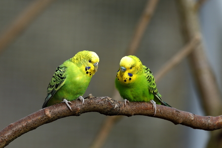 Budgies from Australia