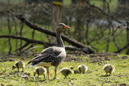 The European Greylag Goose with Chicks