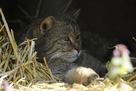 The European Wildcat 版權商用圖片
