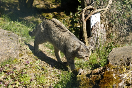 The European Wildcat 版權商用圖片