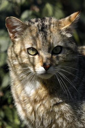 The European Wildcat Banco de Imagens