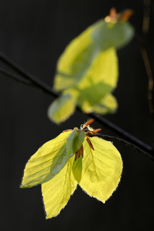 Young beech leaves against the light