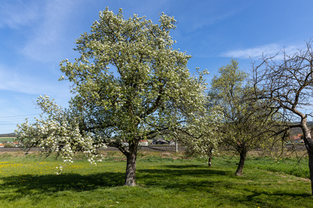 A cherry tree full of blossoms in spring