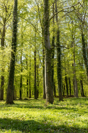 The beech forest in spring Фото со стока