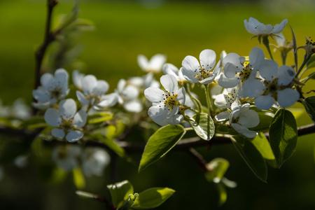Cherry blossoms in spring Фото со стока