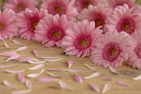 Pink Gerbera for greeting card
