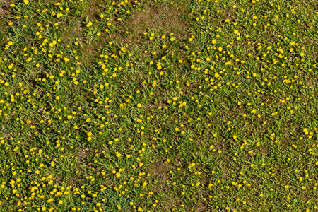 A dandelion meadow from above
