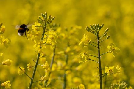Bumblebee in the rape field Stock Photo - 121723568